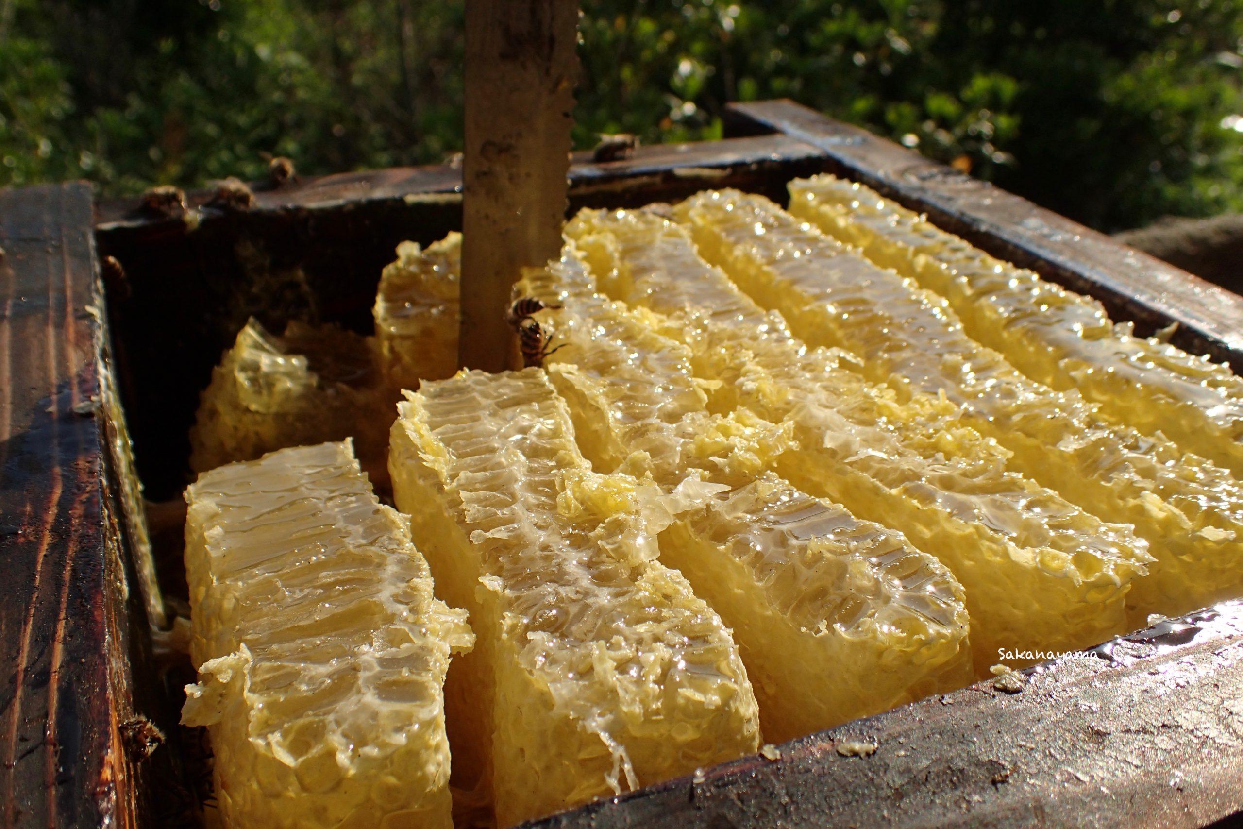 ニホンミツバチ巣箱からハチミツを採取