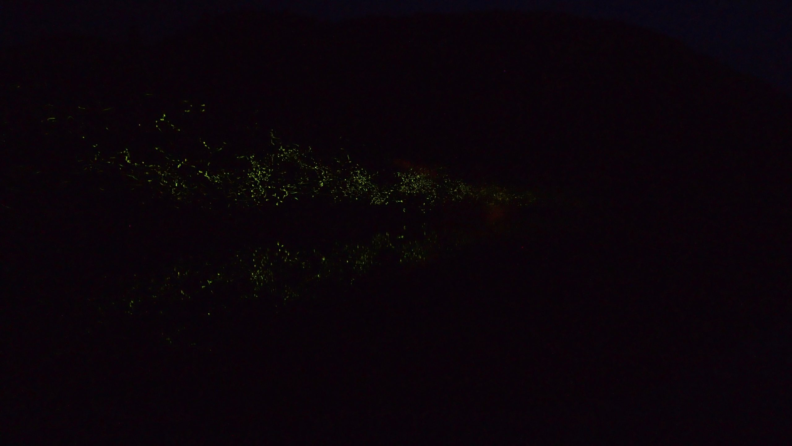 シンクロするゲンジボタルの光