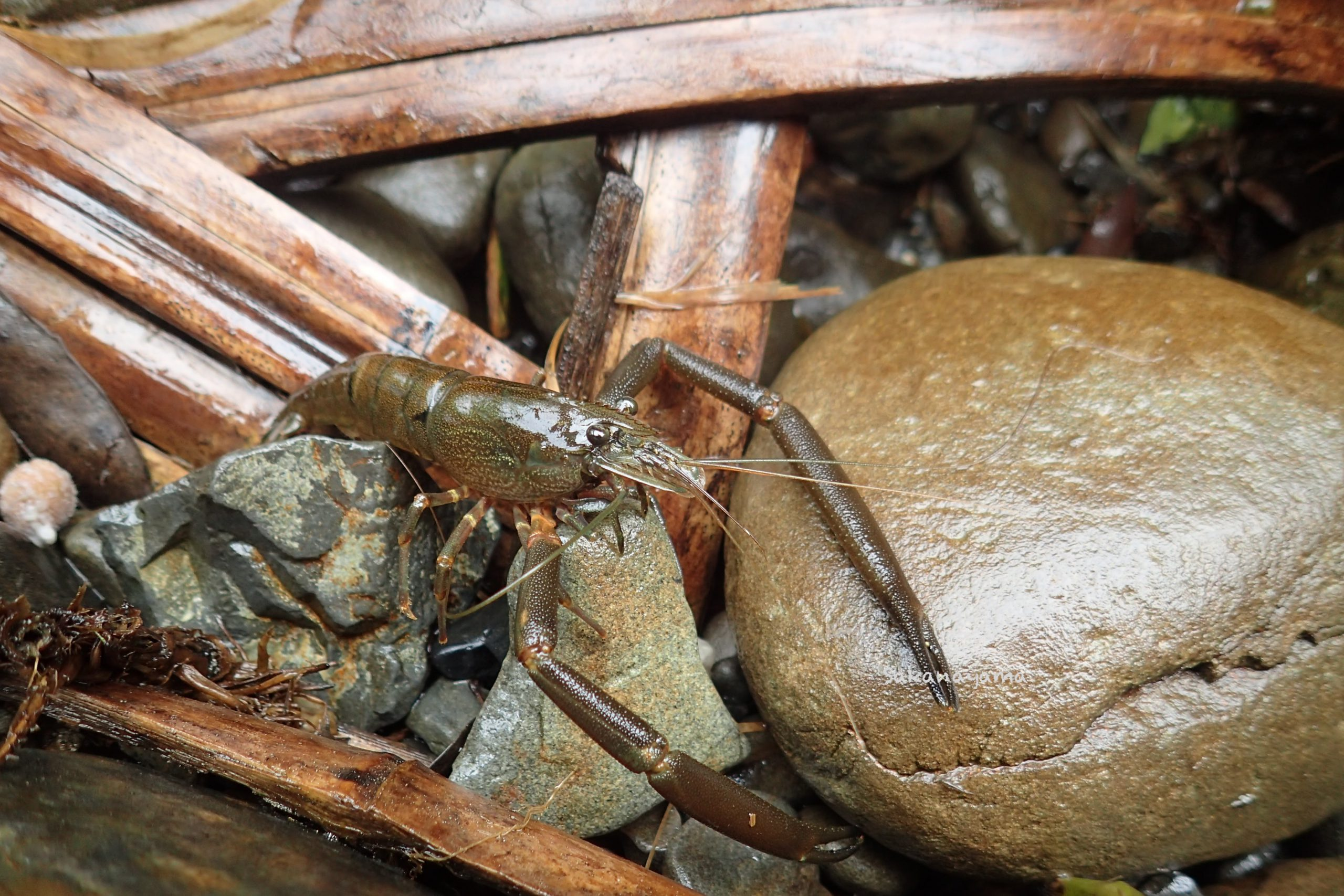竹蛇籠魚道とヒラテテナガエビ