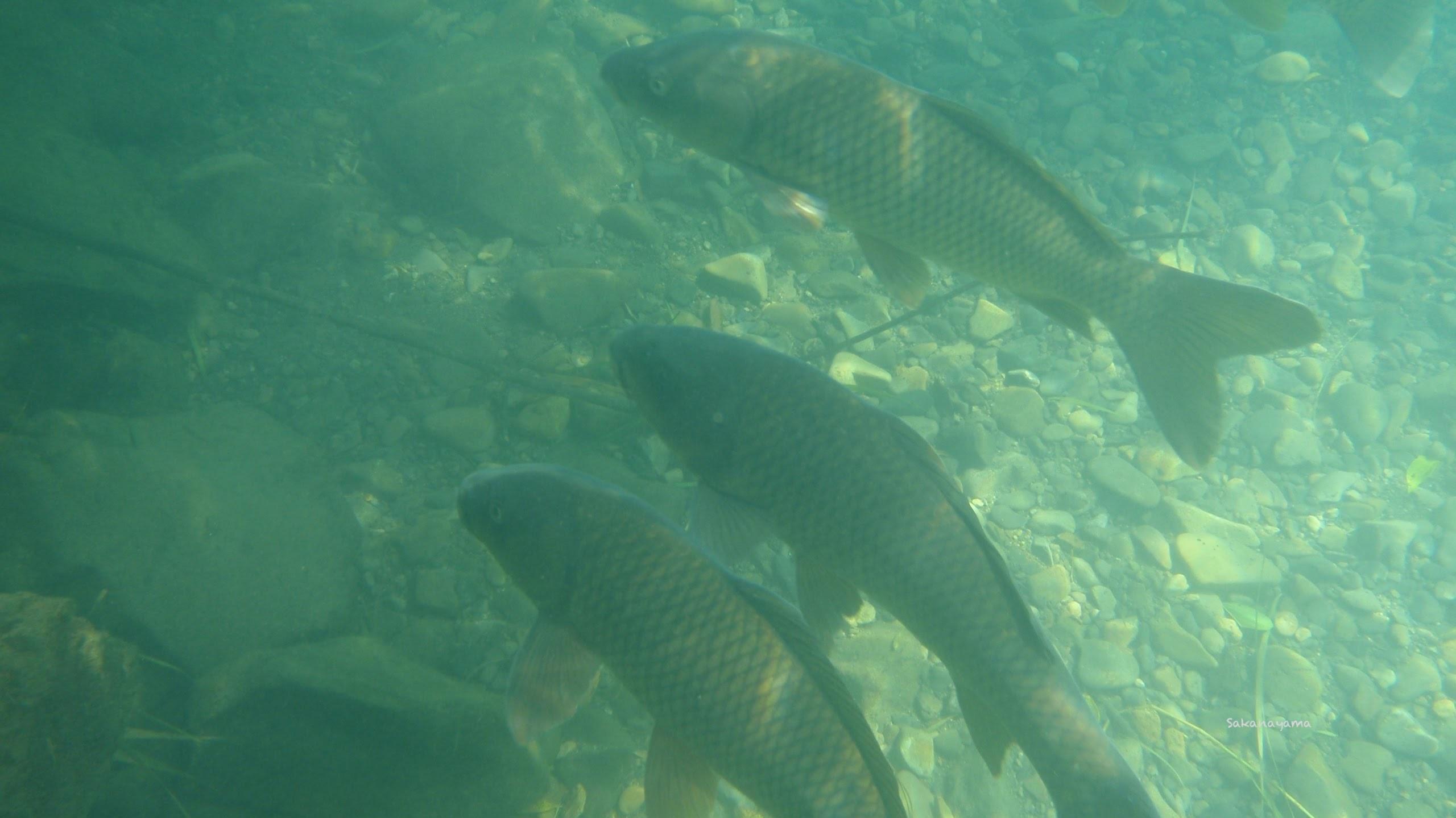 水底に群れるコイ